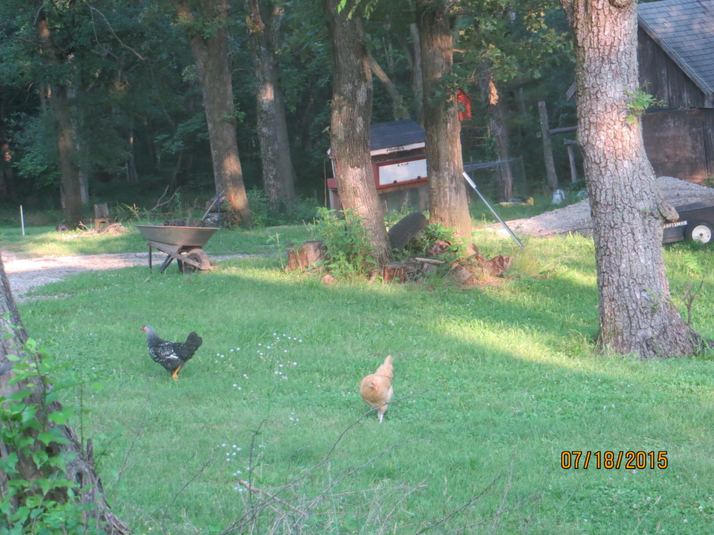 Chickens and chicken coop, July 2015